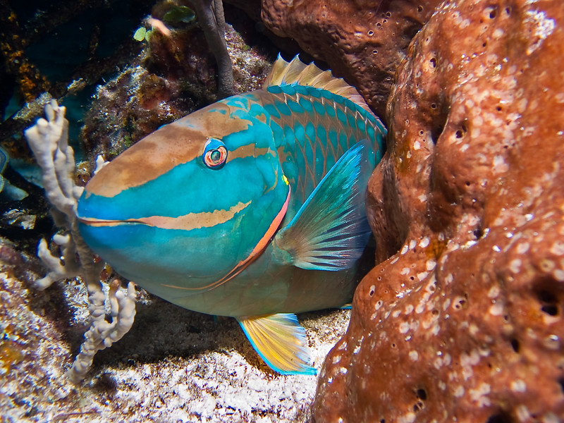 A sleeping adult Stoplight Parrotfish