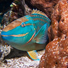 A sleeping adult Stoplight Parrotfish