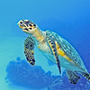 Green Turtle, Cozumel, Mexico, 2002