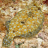 Peacock Flounder, Cozumel, Mexico