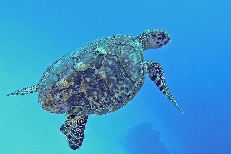 Green Turtle, Cozumel, Mexico, 2002