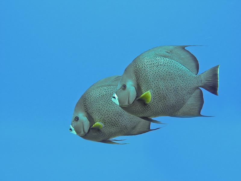 Gray Angelfish pair, Cozumel, Mexico, 2002