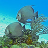 Gray Angelfish pair, Cozumel, Mexico, 2002