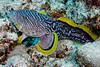 Splendid Toadfish