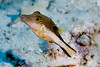 Sharpnose Pufferfish