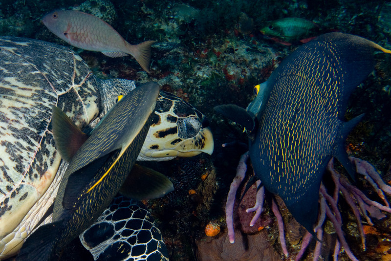A pair of Angelfish groom an Hawksbill turtle