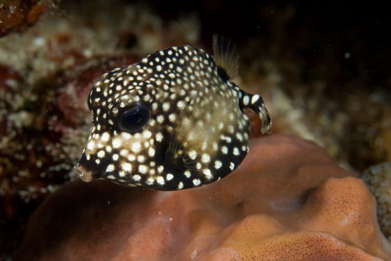 Smooth trunkfish, juvenile.