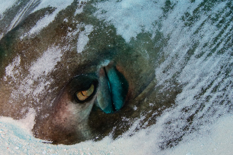 Closeup of Stingray eye and water vent