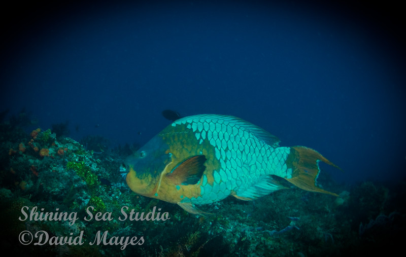 Rainbow Parrotfish, gliding by.