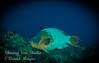 Rainbow Parrotfish, gliding by.