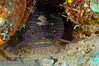 The Splendid Toadfish, found only around the island of Cozumel.