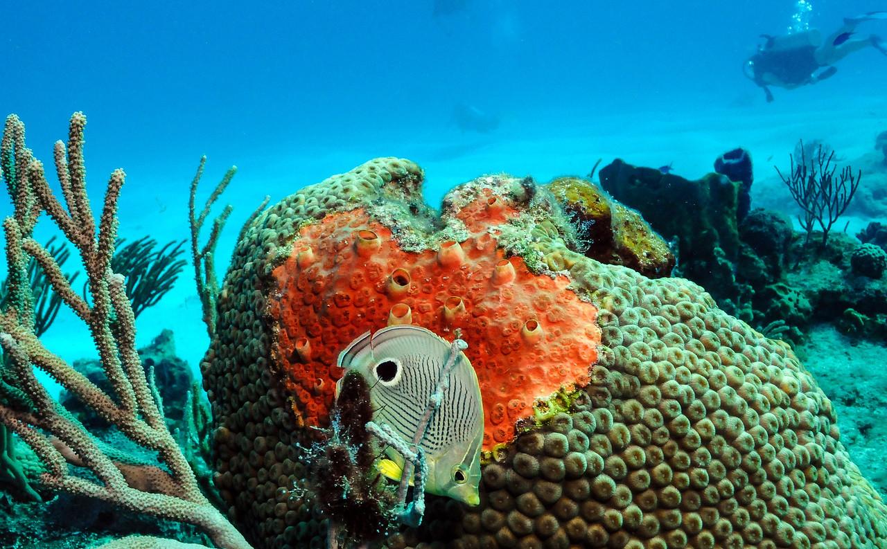 Foureyed Butterflyfish, Cozumel - November 2011