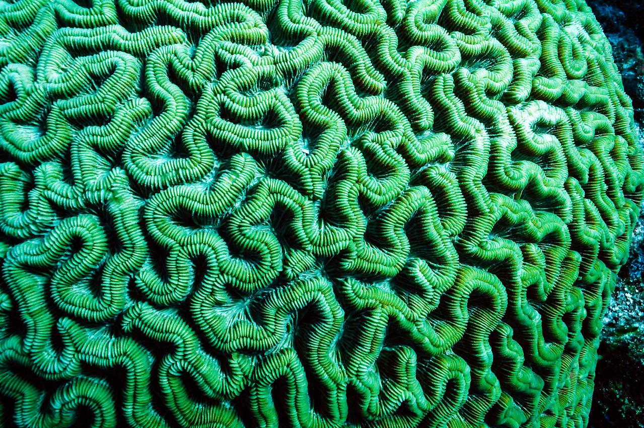 Brain coral, Cozumel - November 2011