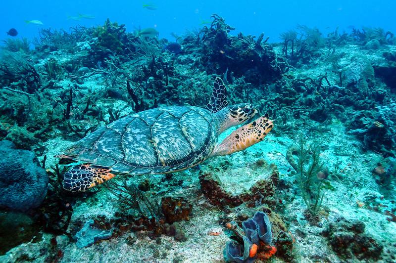 Green Sea Turtle, Cozumel - November 2011