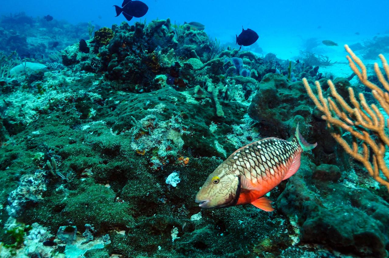 Stoplight Parrotfish, Cozumel - November 2011