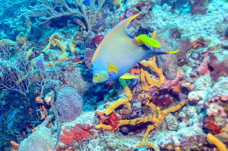 Queen Angelfish, Cozumel - November 2011
