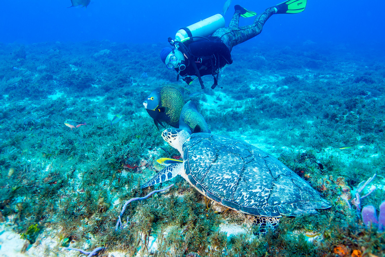 A Hawksbill, French Angelfish and a Canadian at Cedral Pass dive site - Cozumel, Mexico - March 2016