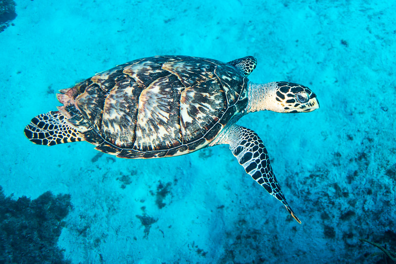 Hawskbill Sea Turtle at Palancar Bricks dive site - Cozumel, Mexico - March 2016