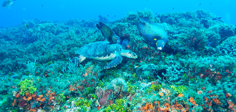 French Angelfish and Hawksbill - Cedral Pass dive site - Cozumel, Mexico - March 2016