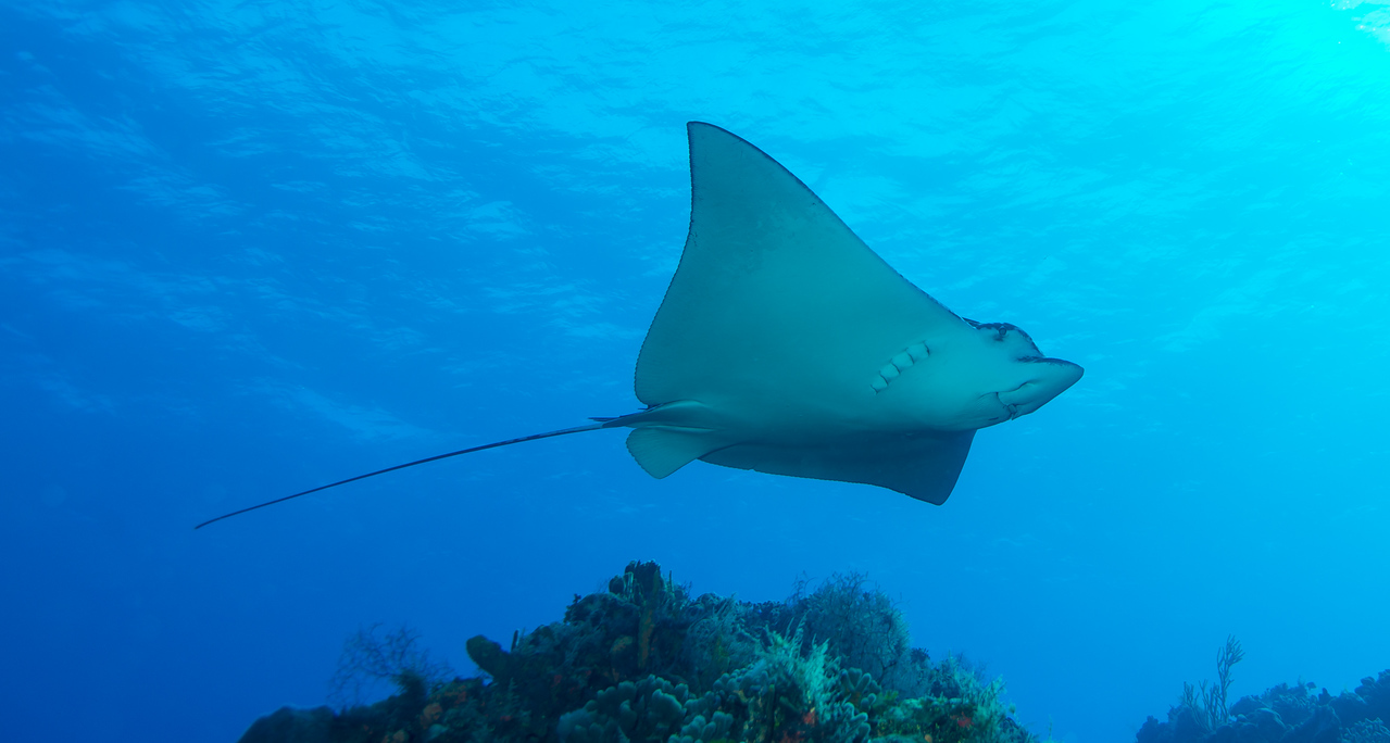Spotted Eagle Ray at Palancar Bricks dive site - Cozumel, Mexico - March 2016