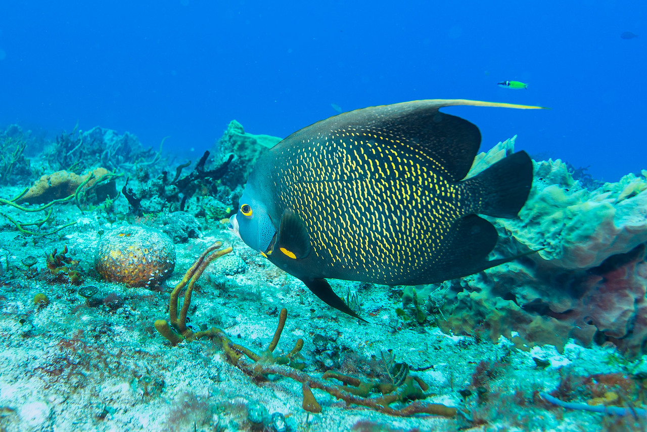 French Angelfish - Cozumel, Mexico - March 2016