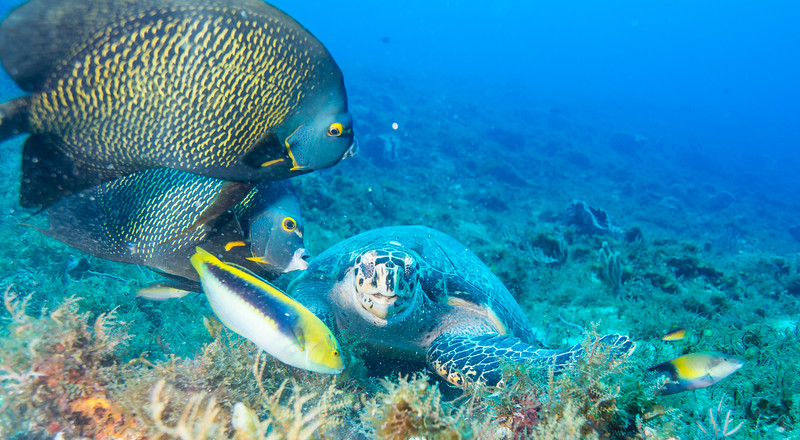 A Hawksbill and French Angelfish at Cedral Pass dive site - Cozumel, Mexico - March 2016
