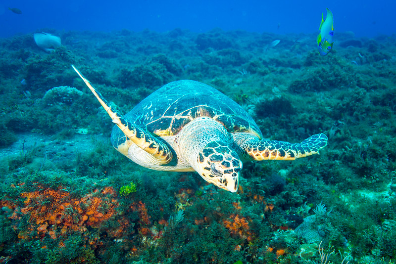Hawksbill Sea Turtle at Cedral Pass dive site - Cozumel, Mexico - March 2016