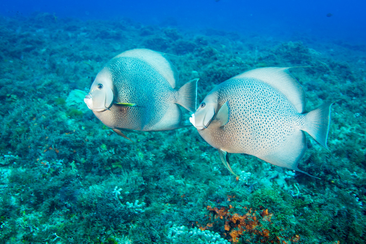 Gray Angelfish at Cedral Pass dive site - Cozumel, Mexico - March 2016
