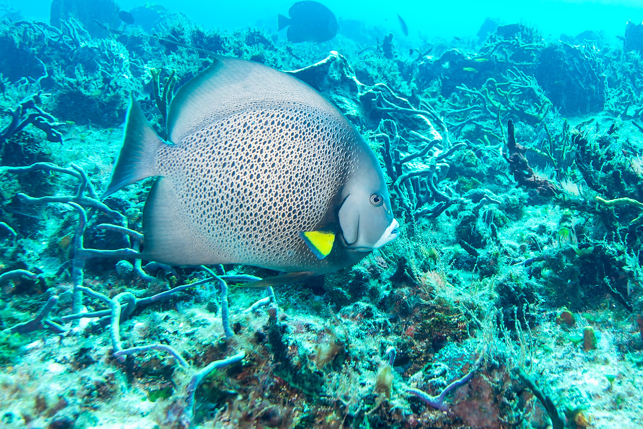 Gray Angelfish - Cozumel, Mexico - March 2016