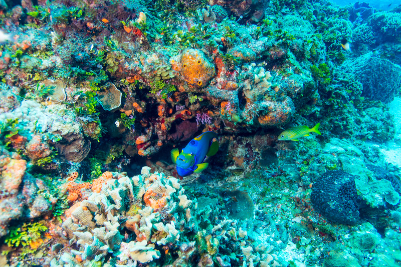 Queen Angelfish at Cedral Pass dive site - Cozumel, Mexico - March 2016