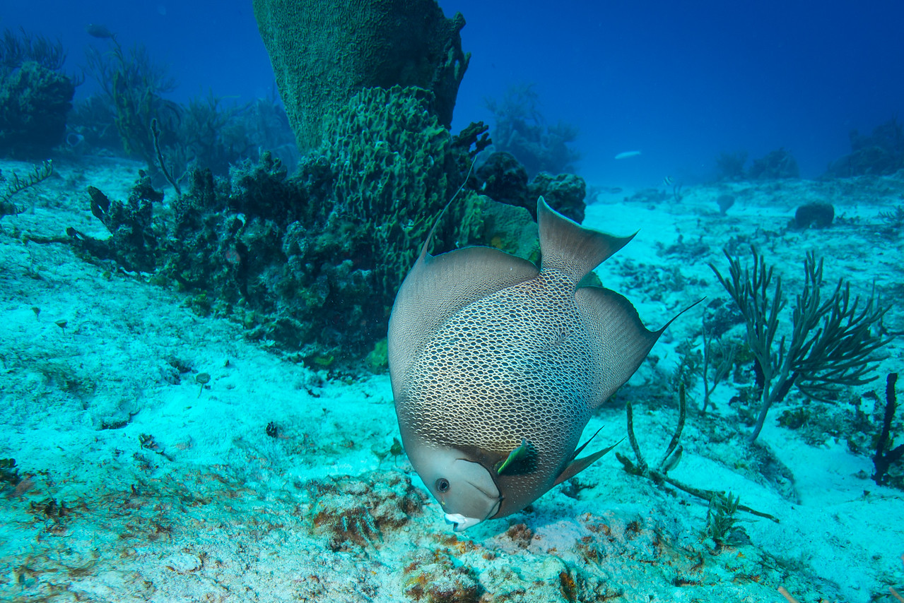 Gray Angelfish near C-53 Wreck - Cozumel, Mexico - March 2016
