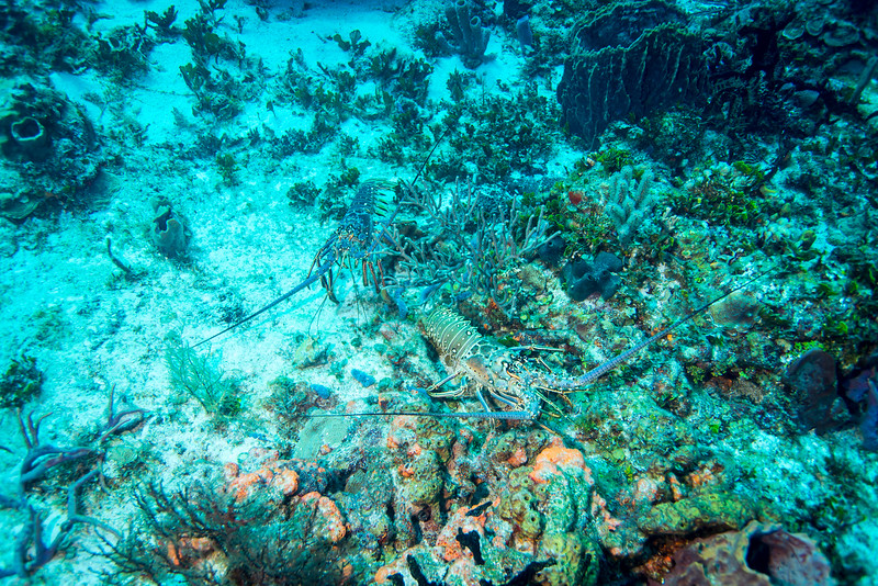 A couple of Lobsters out during the day time (it was mating season) at Cedral Pass dive site - Cozumel, Mexico - March 2016
