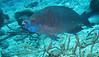 Larg blue parrotfish