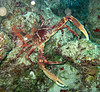 Big channel clinging crab