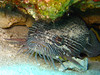 """Splendid Toadfish"".  Only found around Cozumel"