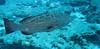 Bigass grouper
