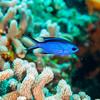 Blue Chromis (Chromis cyanea)