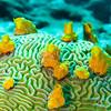Symmetrical Brain Coral (Diploria strigosa)