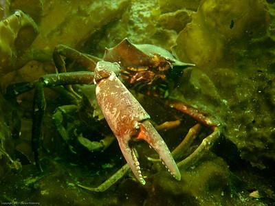 kelp crabs DSC03648