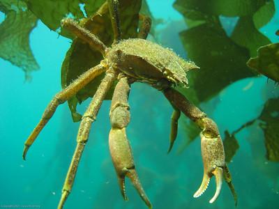 kelp crab DSC06417