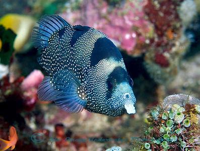 Anilao Pogonoperca punctata Spotted Soapfish