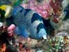 Anilao<br /> Pogonoperca punctata<br /> Spotted Soapfish