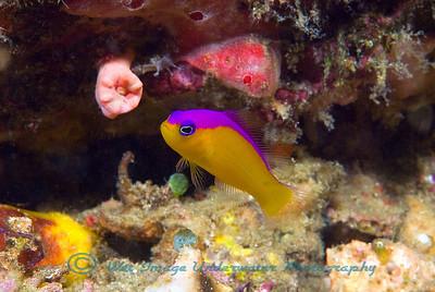 Anilao Pseudochromis didema Purpletop Dottyback