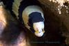 Anilao<br /> Echidna polyzona<br /> Barred Moray – juvenile
