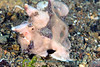 Anilao<br /> Antennarius maculatus<br /> Warty Frogfish
