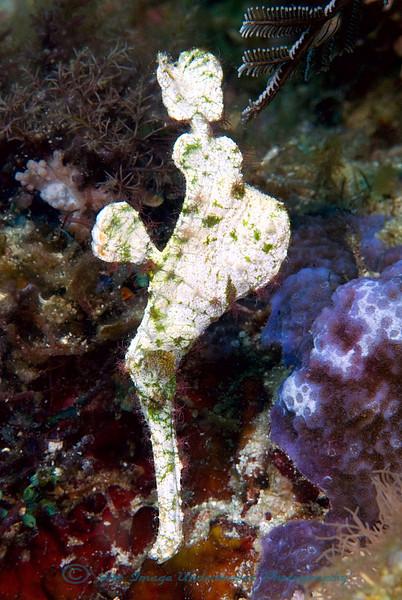 Anilao<br /> Solenastomus halimeda<br /> Halimeda Ghost Pipefish