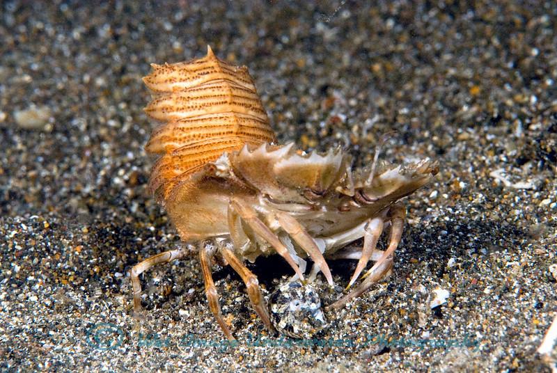 Anilao<br /> Scyllarus sp.<br /> Slipper Lobster