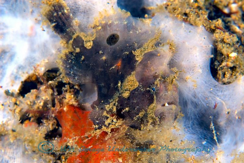 Anilao<br /> Antennarius maculatus<br /> Warty Frogfish – juvenile