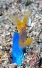 Anilao<br /> Rhinomurarna quaesita<br /> Ribbon Eel