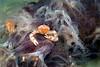 Anilao<br /> Porcellanella triloba<br /> Porcelain Crab